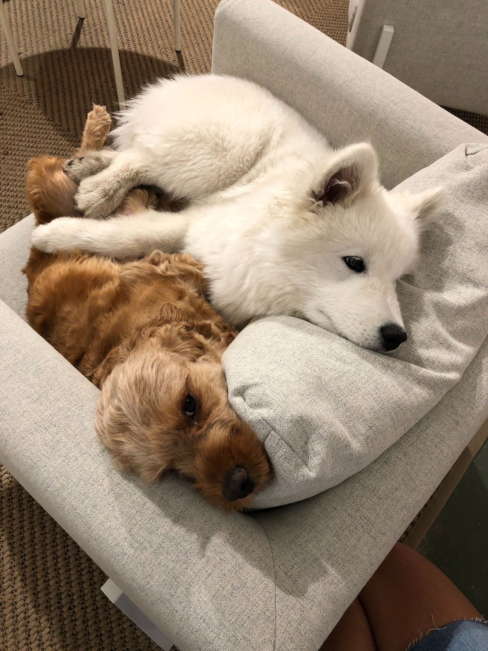Noah and Alaska, the Vev office dogs